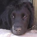 Hund Humphrey vom Retrieverzwinger