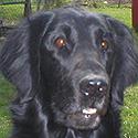 Hund Niels vom Retrieverzwinger